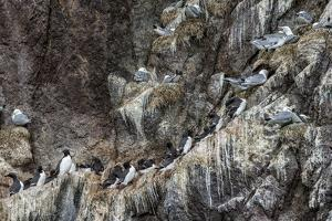 Nesting Black-Legged Kittiwakes (Rissa Tridactyla Tridactyla) by Gabrielle and Michel Therin-Weise