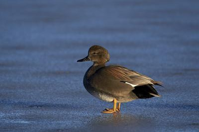 https://imgc.allpostersimages.com/img/posters/gadwall-anas-strepera-male-standing-on-a-frozen-pond-in-the-winter_u-L-PWFDC60.jpg?p=0