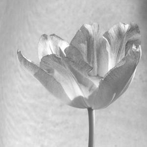 B&W Tulip by Gail Peck