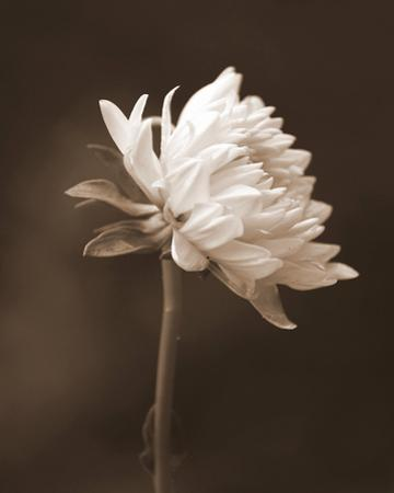 Sepia Flower I by Gail Peck