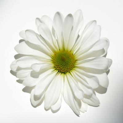 White Daisy by Gail Peck