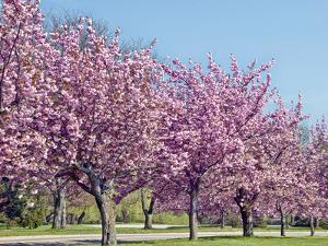 Blossom Trees by Gail Shotlander