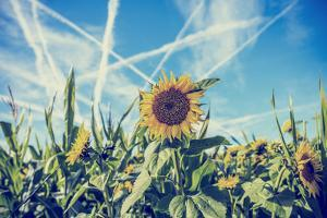Field of Sunflowers with Contrails in A Blue Sky by Gajus