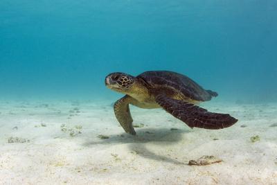 https://imgc.allpostersimages.com/img/posters/galapagos-green-sea-turtle-underwater-galapagos-islands-ecuador_u-L-PYP2780.jpg?p=0