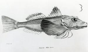 Galapagos Gurnard, plate 6 from 'The Zoology of Voyage of H.M.S Beagle, 1832-36' by Charles Darwin