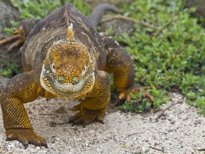https://imgc.allpostersimages.com/img/posters/galapagos-land-iguana-conolophus-subcristatus-galapagos-is-unesco-world-heritge-site-ecuador_u-L-PXWCRK0.jpg?p=0