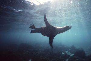 Galapagos Sea Lion Swimming Underwater