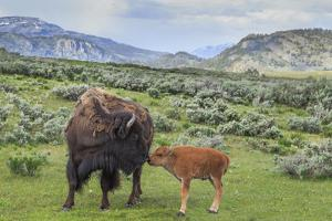 Bison and Calf (YNP) by Galloimages Online