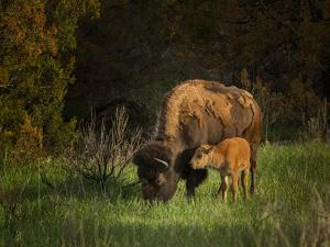 Bison Cow and Calf by Galloimages Online