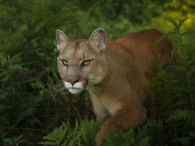 Mountain Lion on the Prowl