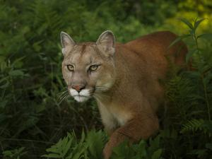 Mountain Lion on the Prowl by Galloimages Online