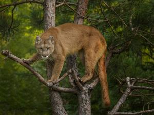 Mountain Lion Stare by Galloimages Online