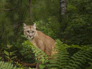 Mountain Lion with Ferns by Galloimages Online