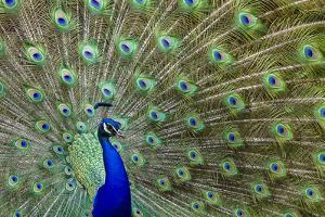 Peacock Proud by Galloimages Online