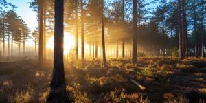 Sunrise in Misty Woods Near Wareham, Dorset, England, Uk by Galyaivanova