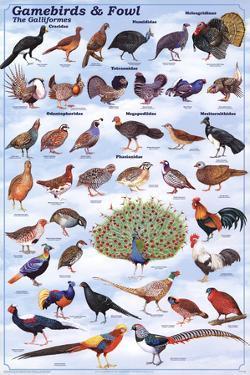 Gamebirds & Foul - The Galliformes Educational Poster