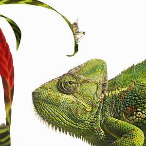 Chameleon Looking at Locust by Gandee Vasan