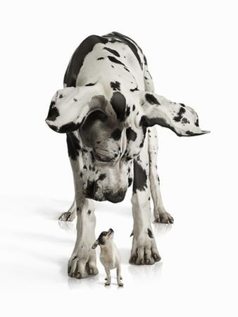 Great Dane Looking down at Chihuahua