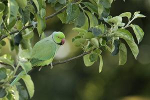 Male Rose-Ringed Parakeet (Psittacula Krameri) Perched in Tree, UK by Garden Picture Library
