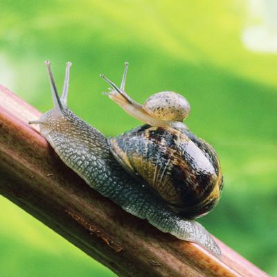 Garden Snail Adult with Baby on its Back