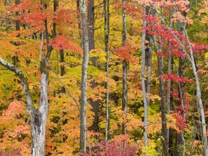 Autumn Leaves, White Mountains by Gareth McCormack