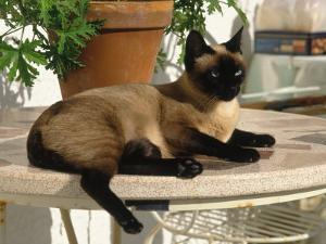 Siamese Cat Resting on Table Top by Gareth Rockliffe
