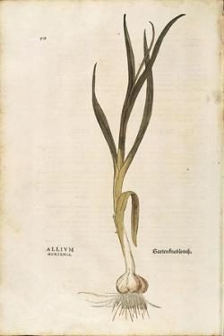 Garlic - Allium Sativum (Allium Hortense) by Leonhart Fuchs from De Historia Stirpium Commentarii I