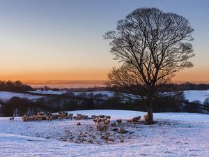 A Herd of Sheep Grazing in the Winter Snow Near Delamere Forest, Cheshire, England by Garry Ridsdale
