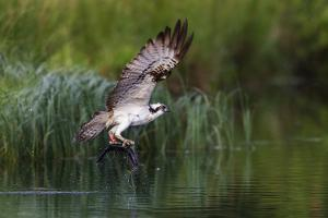 A Satellite Tracked Osprey (Pandion Haliaetus) Flying Above a Small Loch with a Fish in its Talons by Garry Ridsdale