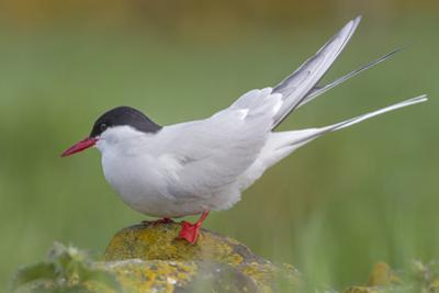 Arctic Tern (Sterna Paradisaea)Perched on a Rock on the Farne Islands, Northumberland, England by Garry Ridsdale