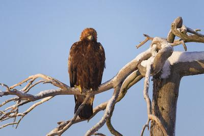 Juvenile Golden Eagle (Aquila Chrysaetos) Perched on a Snow Covered High Tree Lit by Low Winter Sun
