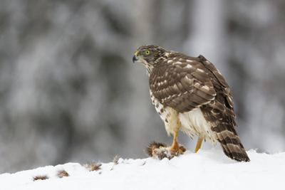Juvenile Goshawk (Accipiter Gentilis) in Snow with its Prey Beneath Talons by Garry Ridsdale