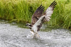 Osprey (Pandion Haliaetus) Exiting a Small Pond with its Huge Wings Extended by Garry Ridsdale