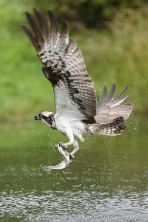 Osprey (Pandion Haliaetus) Flying Above a Pond with a Fish Grasped in its Talons
