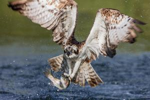 Osprey (Pandion Haliaetus) Flying Head on Above a Pond with a Fish Firmly Grasped in its Talons by Garry Ridsdale