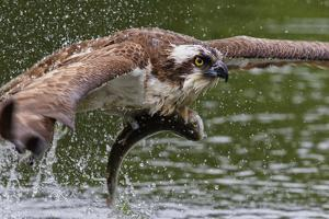 Osprey (Pandion Haliaetus) Flying Low Above the Water with a Freshly Caught Fish in its Grasp by Garry Ridsdale