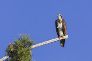 Osprey (Pandion Haliaetus) Perched at End of a Long Branch Extending from Pine Tree, Orleans Forest by Garry Ridsdale