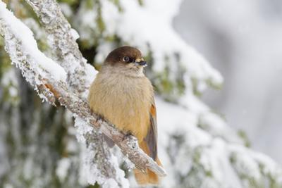 Siberian Jay (Perisoreus Infaustus), Perched on a Snow Covered Branch, Taiga Forest by Garry Ridsdale