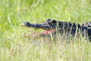 American Alligator by Gary Carter