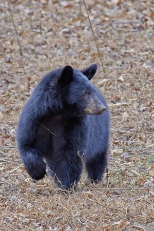 American Black Bear by Gary Carter