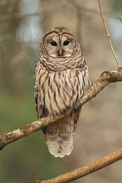 Barred Owl on Tree Branch by Gary Carter