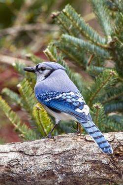 Blue Jay by Gary Carter