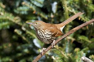 Brown Thrasher Perching on Branch, Mcleansville, North Carolina, USA by Gary Carter