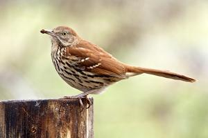 Brown Thrasher Standing on Tree Stump, Mcleansville, North Carolina, USA by Gary Carter