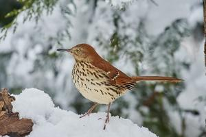 Brown Thrasher by Gary Carter