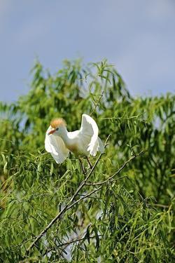 Cattle Egret by Gary Carter