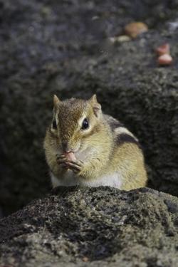 Chipmunk Eating by Gary Carter