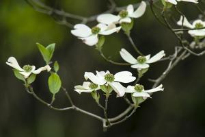 Close-Up of Dogwood Bloom by Gary Carter
