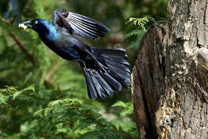 Common Grackle Flying, Mcleansville, North Carolina, USA by Gary Carter
