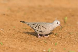 Common Ground Dove by Gary Carter